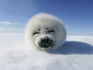 обои Смешная мордочка тюленя фото