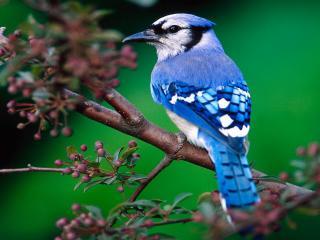 обои Синяя птичка на кусте ранеток фото