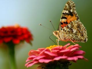 обои Бабочка на алом цветке фото