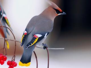 обои Хохлатая птичка на ветке калины фото