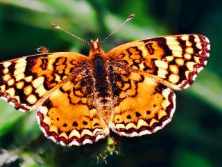 обои Золотистая бабочка фото