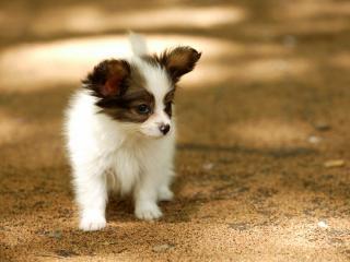 обои Маленький щенок фото