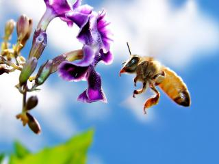 обои Пчела собирает нектар фото