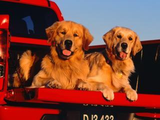 обои Собаки в пикапе фото