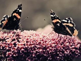 обои Две бабочки на красивом цветке фото