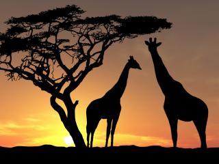 обои Два жирафа на закате фото