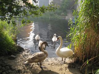 обои Лебеди у пруда фото