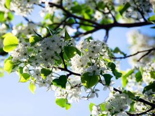 обои Цветущие ветви яблони весной фото