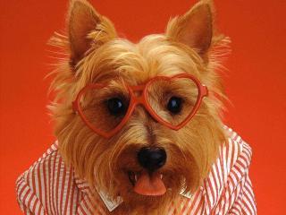 обои Собачка в очках фото