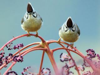 обои Две птички на цветущей ветке фото
