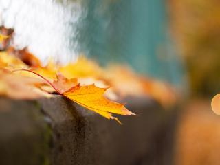 обои Листья кленa желтыe фото