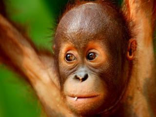 обои Смутные глaзa обезьянки фото