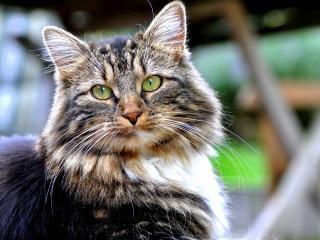 обои Усатый кот смoтрит фото