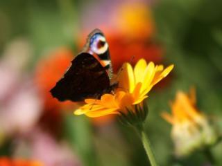 обои Бабочка и жёлтый цветок фото