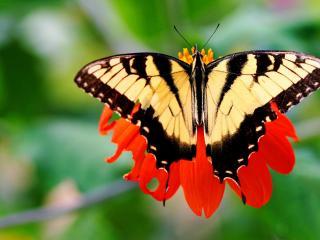 обои Бабочка расправила крылья на цветке фото