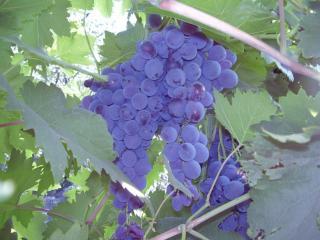 обои Виноградик спелый фото