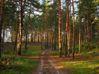 обои Дорога в майский сосновый лес фото