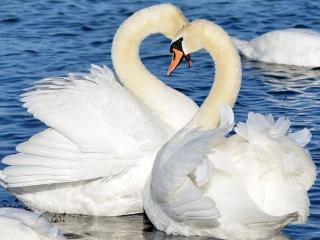 обои Любовь и лебеди фото