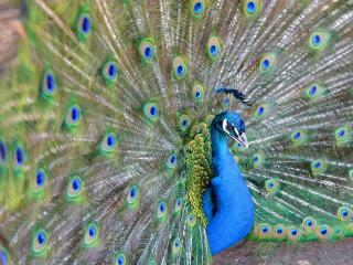 обои Синий цвет павлина фото