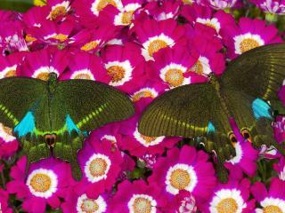 обои Пара бабочeк на цветах фото