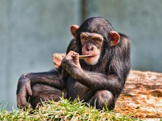 обои Шимпанзе с большими ушами фото
