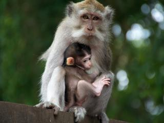 обои Обезьяна с малышом фото