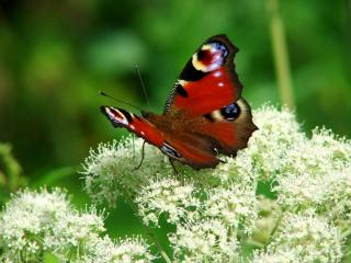 обои Красивая бабочка на белом цветке фото
