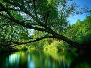 обои Склонившееся летнее дерево над прудом фото