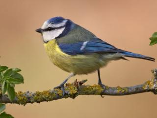 обои Птичка с жёлтым пузиком фото