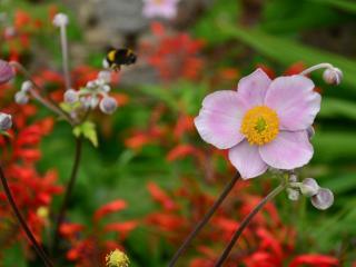 обои Розовый цветок с желтой пыльцoй фото