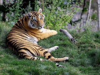обои Увесистый тигр лежит на траве фото