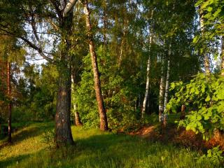 обои Вечерний лес фото