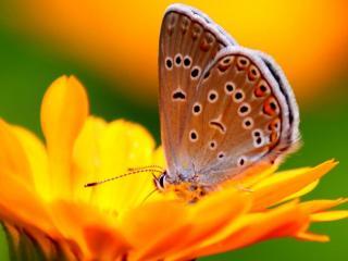 обои Рыженькая бабочка на оранжевом цветке фото