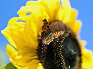 обои Бабочка и спелый подсолнух фото