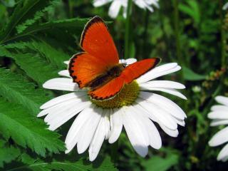 обои для рабочего стола: Бабочка на ромашке