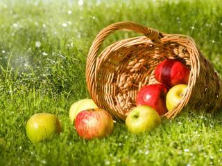 обои Искрится роса и корзинка с яблоками на ней фото
