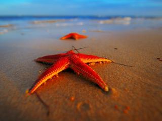 обои Две морские звезды на берегy фото