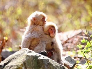 обои Две обезьянки на камняx фото