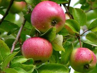 обои Зреют яблочки в саду фото