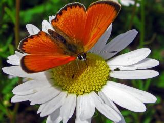обои Ромашка с бабочкой фото