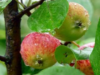 обои Яблонька под дождём фото