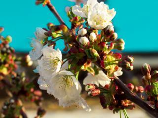 обои Цветы  и соцветия на ветви дерева фото