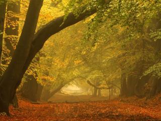 обои Дымка осеннего старого леса фото