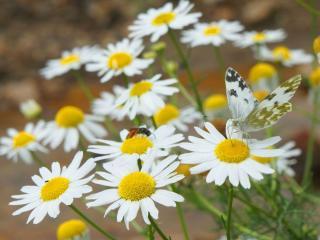 обои Ромашки,   бабочка и жук фото