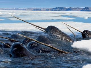 обои Стая морских животных нарвал фото