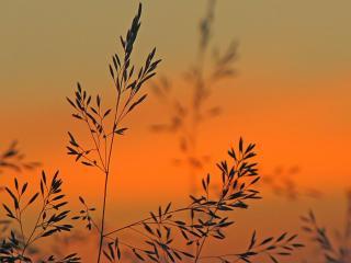 обои Полевые травинки на фоне заката фото
