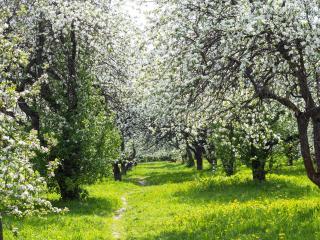 обои Тропинка вдоль цветущих деревьев фото