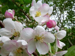 обои Цветёт,   цветёт яблонька фото