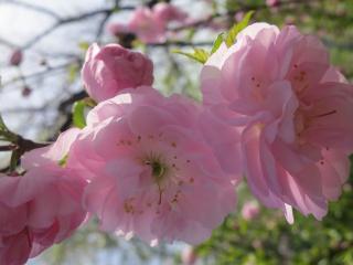 обои Цветы сакуры крупным планом фото