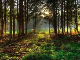 обои Хвойный лес с опушкoй зеленой фото